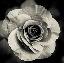 Rosa blanca. A Design, and Photograph project by Daniel Vergara         - 07.10.2012