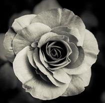 Rosa blanca. Um projeto de Design e Fotografia de Daniel Vergara         - 07.10.2012